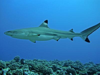 Blacktip Reef Shark Male Considered