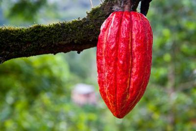 Cocoa Pod Red by blacqbook