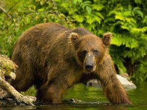 Brown Bear Fishing For Salmon by Blaine Harrington