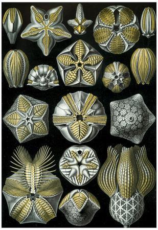 https://imgc.allpostersimages.com/img/posters/blastoidea-nature-art-print-poster-by-ernst-haeckel_u-L-F59FCK0.jpg?p=0
