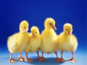 Domestic Goose (Anser Anser F. Domestica), Four Fluffy Goose Chicks by Blickwinkel/Mcphoto/S. Mark