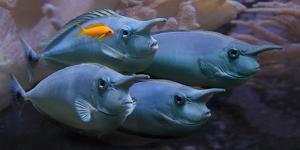 Short-Nose Unicornfish, Short-Snouted Unicornfish, Spotted Unicornfish (Naso Brevirostris), Group by Blickwinkel/Schmidbauer