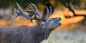 Red Deer (Cervus Elaphus), Portraet of an Imposing Roaring Stag in Morning Light, Denmark by Blickwinkel/Zoller