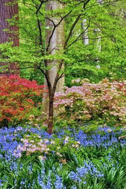 Blooming Azaleas and Bluebell Flowers, Winterthur Gardens, Delaware, USA