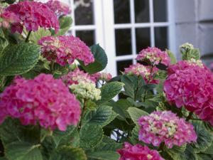 Blooming Pink Hydrangea in Front of House