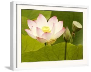 Blooming Water Lotuses Carpet Echo Park Lake