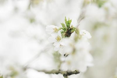https://imgc.allpostersimages.com/img/posters/blossoming-ornamental-cherry-tree-in-the-spring_u-L-Q1EXQEG0.jpg?artPerspective=n