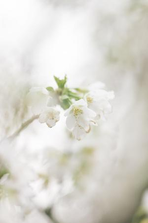 https://imgc.allpostersimages.com/img/posters/blossoming-ornamental-cherry-tree-in-the-spring_u-L-Q1EXQRK0.jpg?artPerspective=n