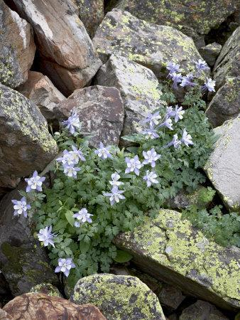 https://imgc.allpostersimages.com/img/posters/blue-columbine-growing-in-a-rock-field-yankee-boy-basin-uncompahgre-national-forest-colorado_u-L-P7NP400.jpg?p=0