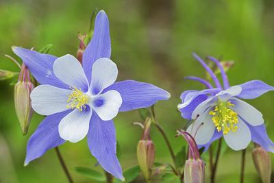 https://imgc.allpostersimages.com/img/posters/blue-columbine-rio-grande-national-forest-colorado-usa_u-L-PN6R9V0.jpg?artPerspective=n