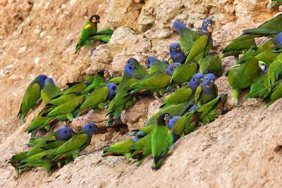 https://imgc.allpostersimages.com/img/posters/blue-headed-parrot-at-clay-lick_u-L-Q106HGU0.jpg?p=0