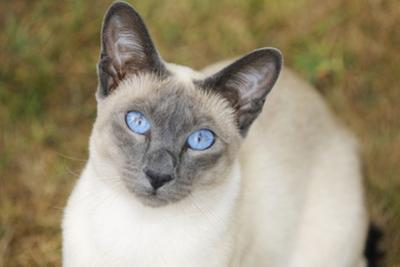 Blue Point Siamese Cat Sitting on Grass