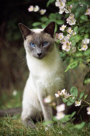 Blue Point Siamese Sitting in Garden