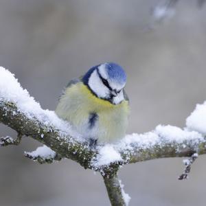 Blue Tit in Winter on Snowy Branch