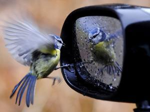 Blue Tit is Reflected in a Wing Mirror of a Car That is Covered with Raindrops