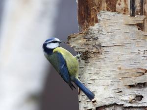 Blue Tit on Silver Birch