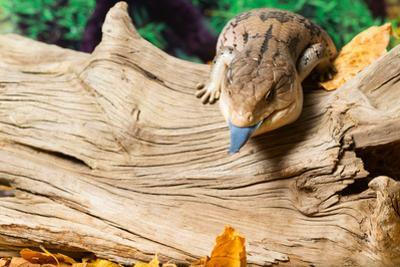 Blue-tongued skink in forest