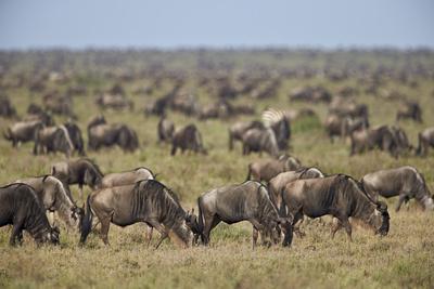 https://imgc.allpostersimages.com/img/posters/blue-wildebeest-brindled-gnu-connochaetes-taurinus-herd_u-L-PWFCMQ0.jpg?p=0