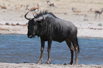 https://imgc.allpostersimages.com/img/posters/blue-wildebeest-connochaetes-taurinus-nxai-pan-national-park-botswana-africa_u-L-PQ8SQB0.jpg?artPerspective=n