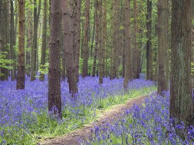 https://imgc.allpostersimages.com/img/posters/bluebell-wood-warwickshire-england-united-kingdom-europe_u-L-PFNKS90.jpg?p=0