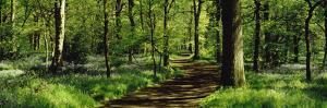 Bluebell Wood Yorkshire England