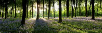 Bluebells Growing in a Forest in the Morning, Micheldever, Hampshire, England