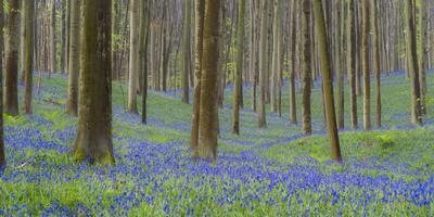 https://imgc.allpostersimages.com/img/posters/bluebells-hyacinthoides-nonscripta-hallerbos-belgium_u-L-Q1EY0HG0.jpg?artPerspective=n