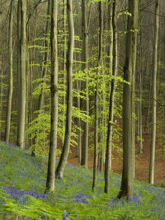 https://imgc.allpostersimages.com/img/posters/bluebells-hyacinthoides-nonscripta-hallerbos-belgium_u-L-Q1F2P6R0.jpg?artPerspective=n