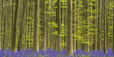 https://imgc.allpostersimages.com/img/posters/bluebells-hyacinthoides-nonscripta-hallerbos-brussels-belgium_u-L-Q1EXZSC0.jpg?artPerspective=n
