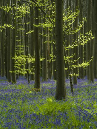 https://imgc.allpostersimages.com/img/posters/bluebells-hyacinthoides-nonscripta-hallerbos-brussels-belgium_u-L-Q1EY0J30.jpg?artPerspective=n