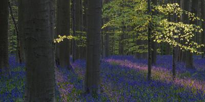 https://imgc.allpostersimages.com/img/posters/bluebells-hyacinthoides-nonscripta-hallerbos-brussels-belgium_u-L-Q1EY18K0.jpg?artPerspective=n