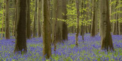 https://imgc.allpostersimages.com/img/posters/bluebells-hyacinthoides-nonscripta-spring-in-the-hallerbos-nature-reserve-brussels-belgium_u-L-Q1F2OGG0.jpg?artPerspective=n