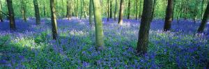 Bluebells in a Forest, Charfield, Gloucestershire, England