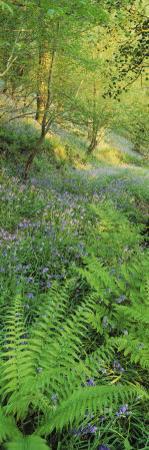 Bluebells in a Forest, Huntlands Wood, Seven Crosses, Tiverton, Mid Devon, Devon, England