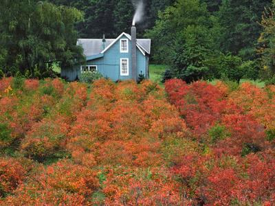 https://imgc.allpostersimages.com/img/posters/blueberry-farm-in-autumn-colors-clackamas-county-oregon-usa_u-L-PN6XKC0.jpg?p=0