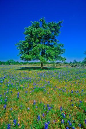 Bluebonnets in bloom with tree on hill, Spring Willow City Loop Road, TX