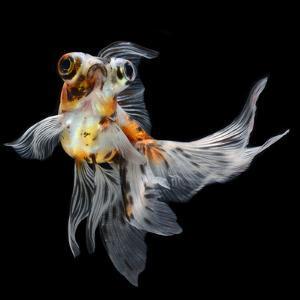 Goldfish Isolated on Black Background by bluehand