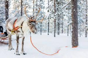Reindeer in a Winter Forest in Finnish Lapland by BlueOrange Studio