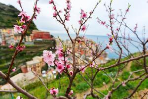 Spring Blooming Cherry Tree with Background Scenic View of Colorful Houses of Manarola Village, Cin by BlueOrange Studio