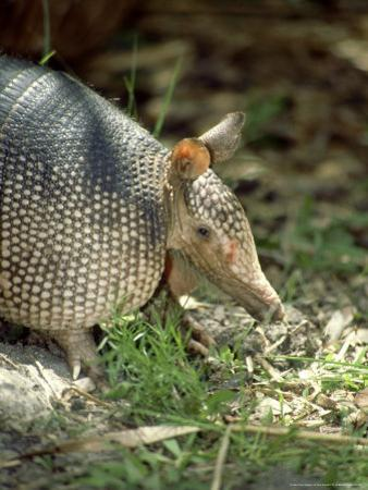 Nine-Banded Armadillo, Florida, USA by Bob Bennett