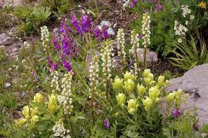 Alpine Flowers In Wyoming, USA by Bob Gibbons