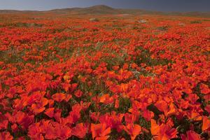 California Poppy (Eschscholzia californica) flowering mass, Antelope Valley Poppy Reserve by Bob Gibbons