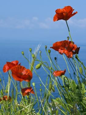 Common Poppy (Papaver Rhoeas) by Bob Gibbons