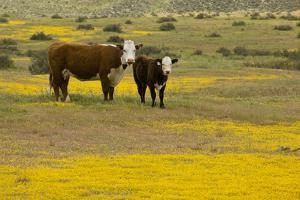 Domestic Cattle, cow with calf, Carrizo Plain by Bob Gibbons