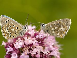 Male Adonis Blue Butterflies by Bob Gibbons