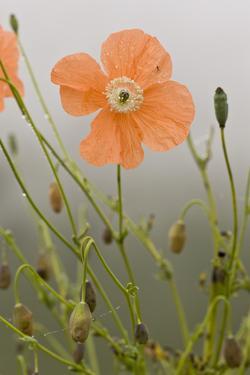 Orange Poppy (Papaver fugax) flowering, Cam Pass (Cam Gecidi), Anatolia, Turkey by Bob Gibbons