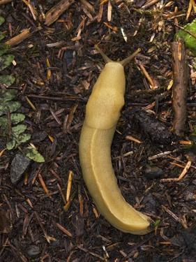 Pacific Banana Slug by Bob Gibbons