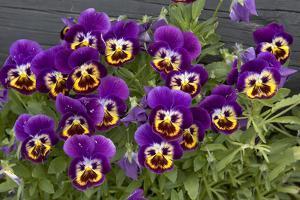 Pansies (Viola Sp.) by Bob Gibbons