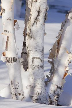 Paper Birch (Betula papyrifera) close-up of coppiced and re-grown trunks in snow, december by Bob Gibbons