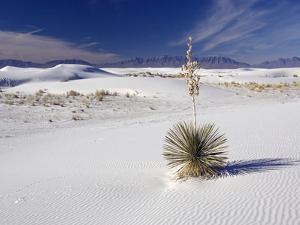 Soaptree Yucca (Yucca Elata) by Bob Gibbons